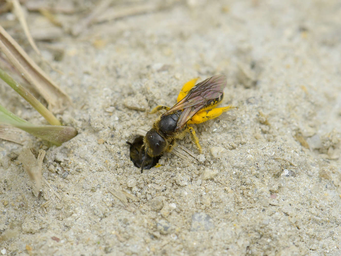 Pískorypka Andrena dorsata
