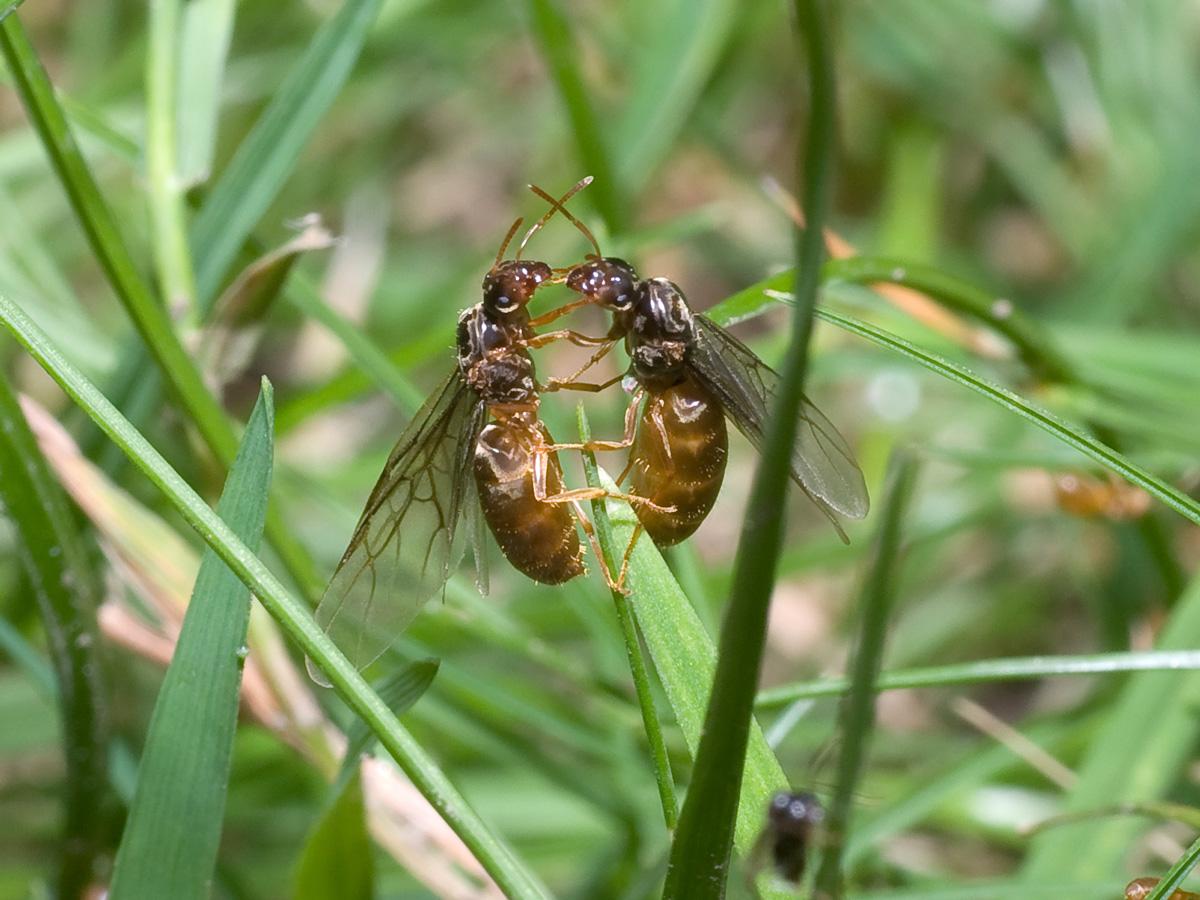 Mravenec žlutý, královny