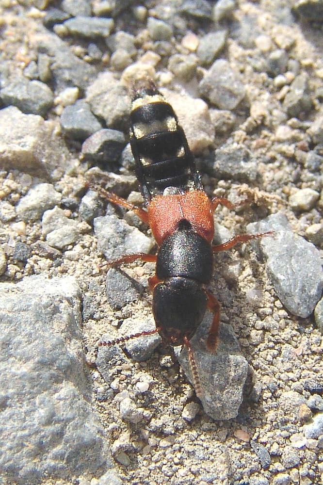 Drabčík Platydracus stercorarius