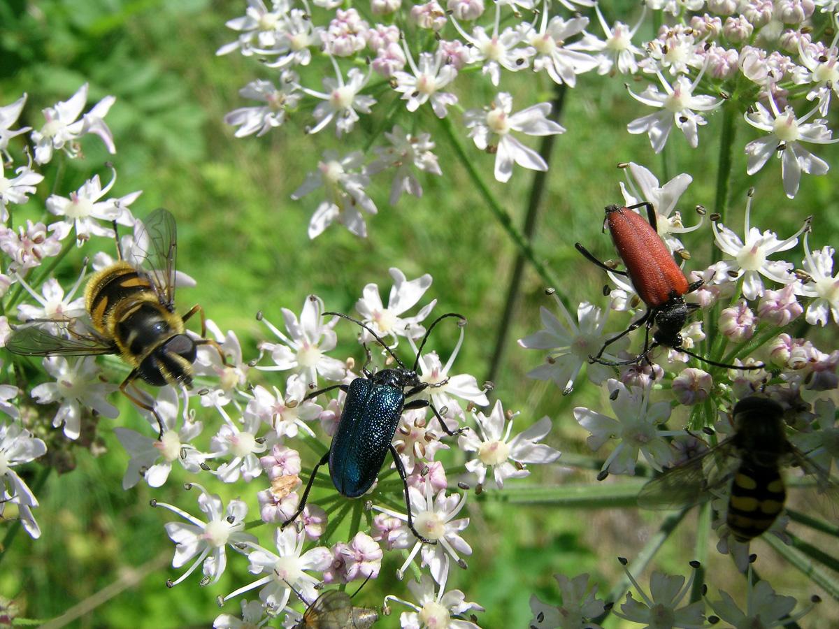 Tesařík panenský a Anastrangalia sanguinolenta