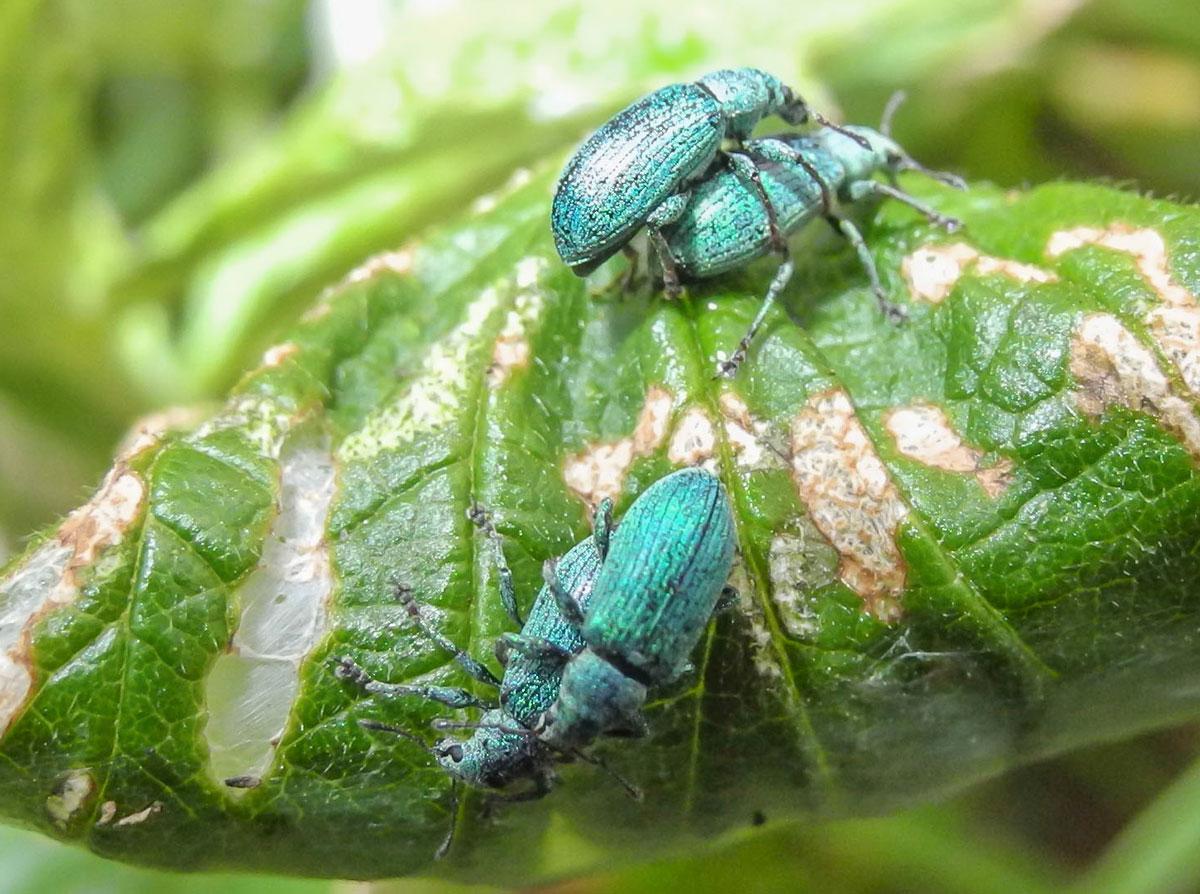 Listopas Polydrusus cf. amoenus