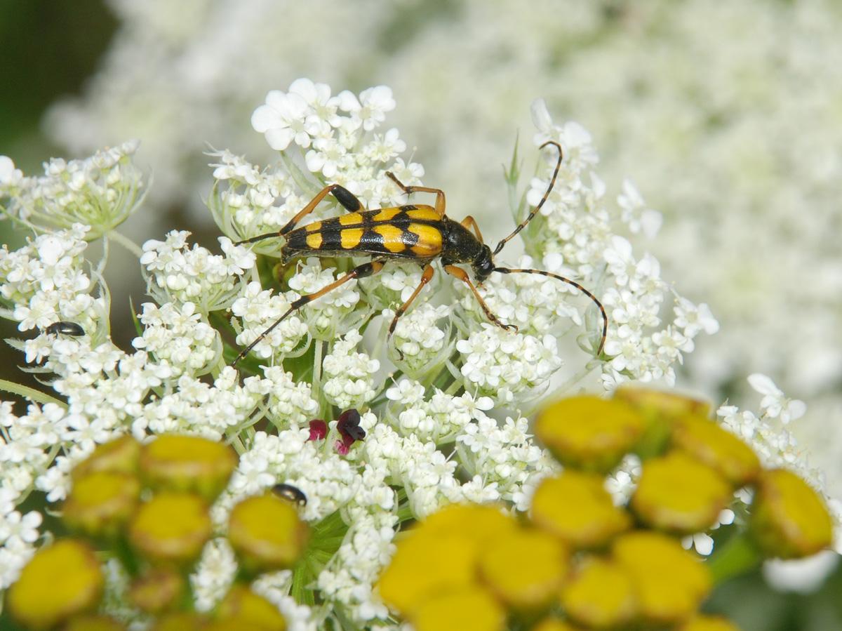 Tesařík skvrnitý Strangalia maculata