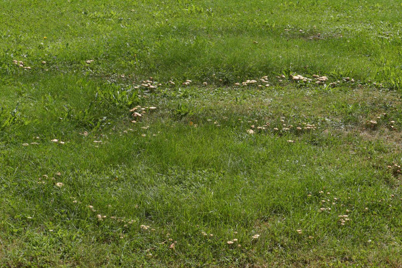 čarodějné kruhy špičky travní