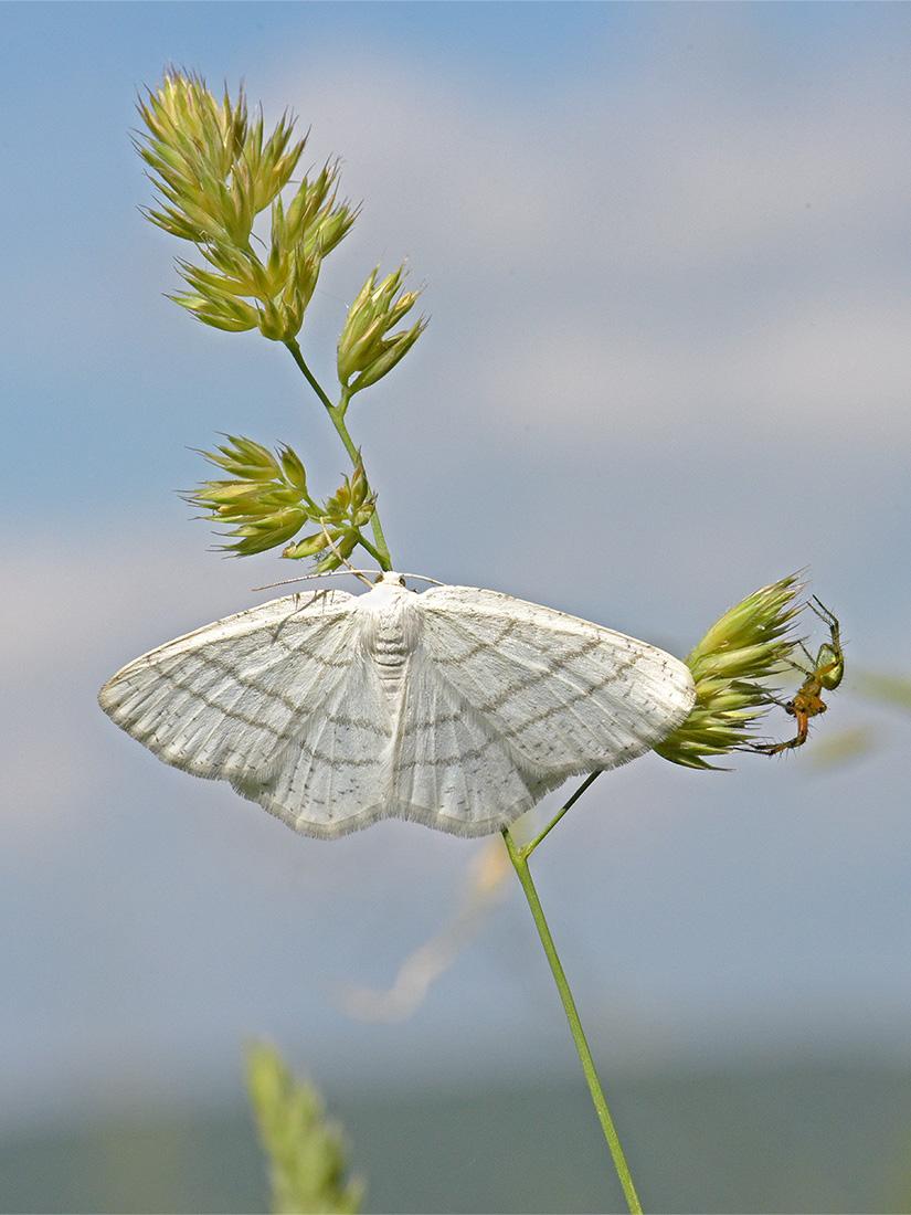Bělokřídlec březový