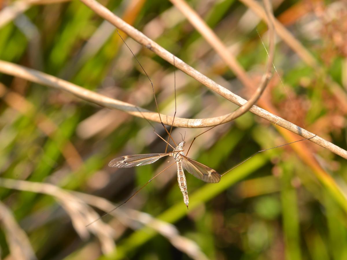 Tiplice Tipula vernalis
