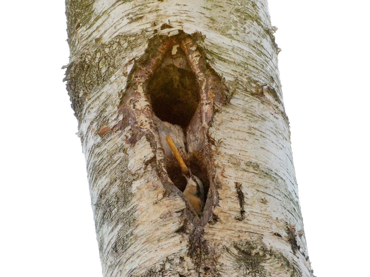 Brhlík lesní