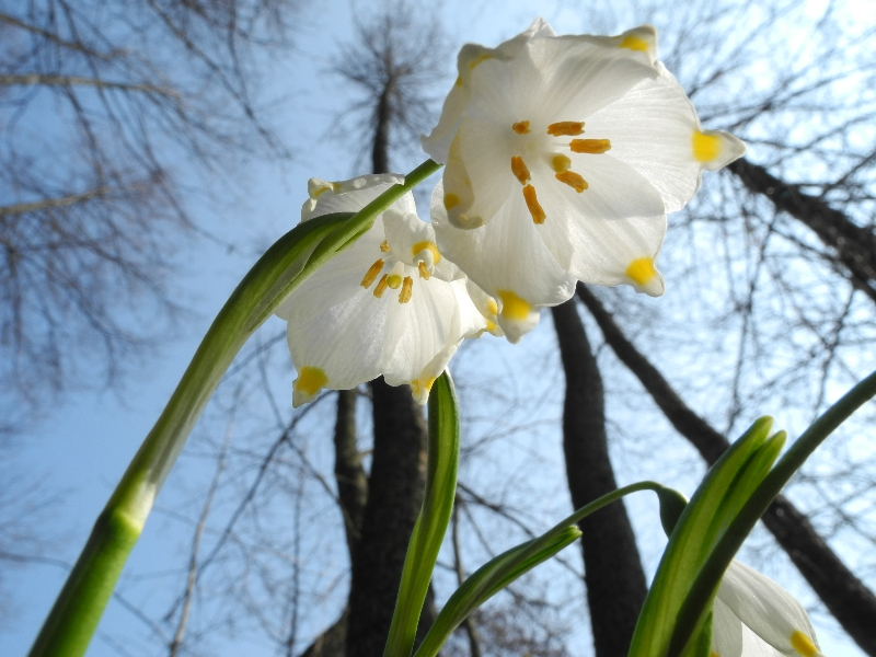 bledule jarní