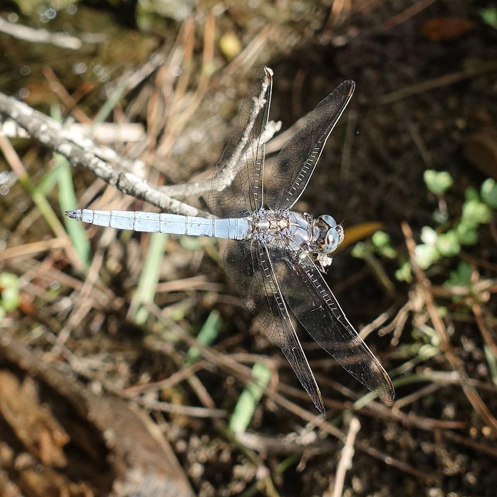 Vážka hnědoskvrnná, samec (Sardinie)